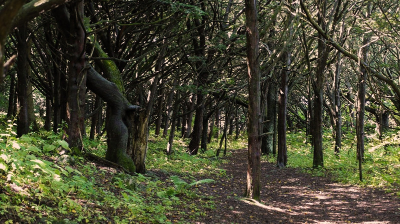 The Yew Grove